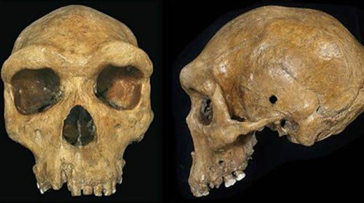 Skull fossil with bullet holes